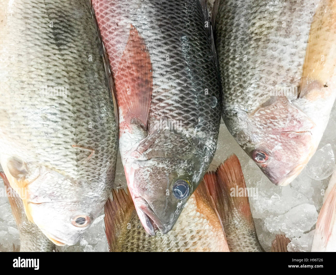 Close up of fresh fish John's Snapper, golden snapper or local called Jenahak on display at fish market. - Stock Image