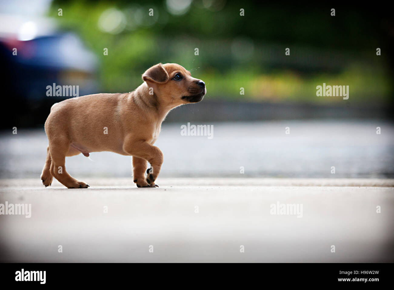 Jack Russel Puppy - Stock Image
