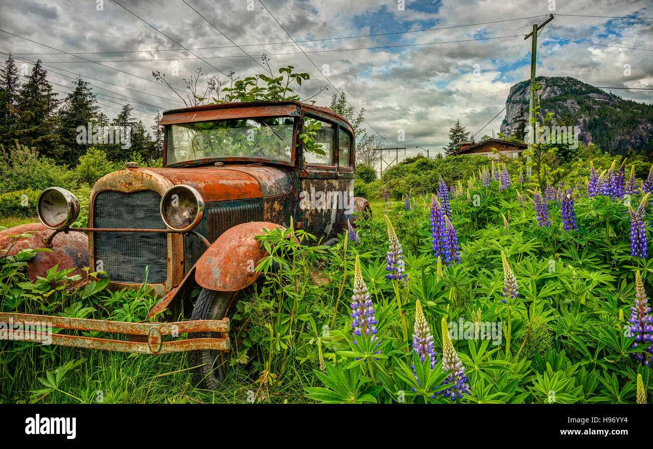 An abandoned car is overgrown by weeds and purple lupine in a field near Squamish, British Columbia. Stock Photo