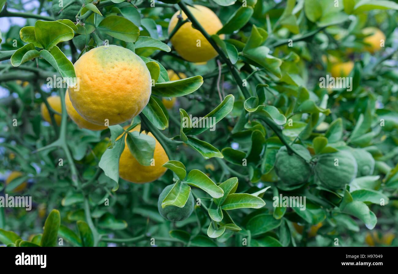 Prächtig Citrus Trifoliata Fruit Tree. Poncirus Trifoliata. Chinese Bitter &II_84