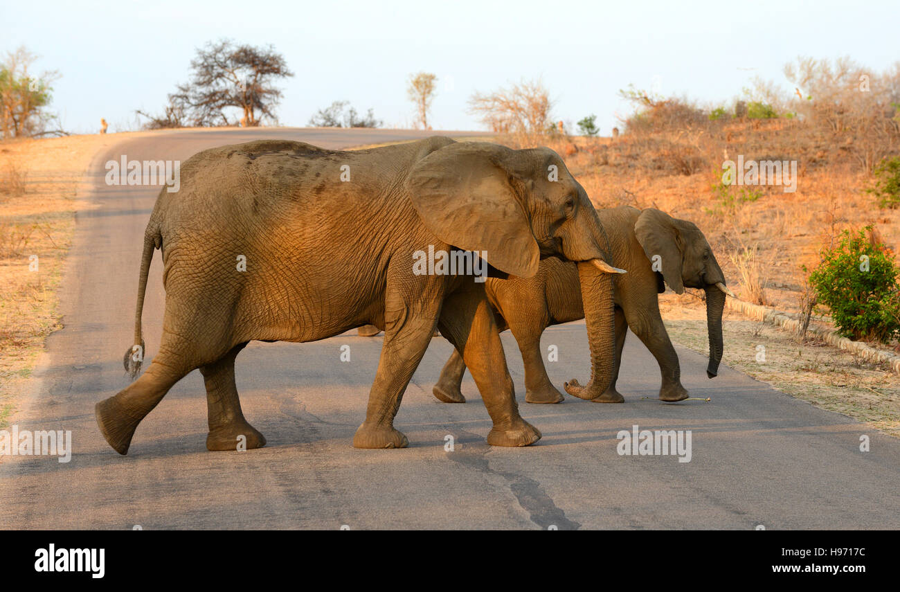 Two elephants crossing a road in Kruger National Park in South Africa under the glow of the afternoon sun. - Stock Image