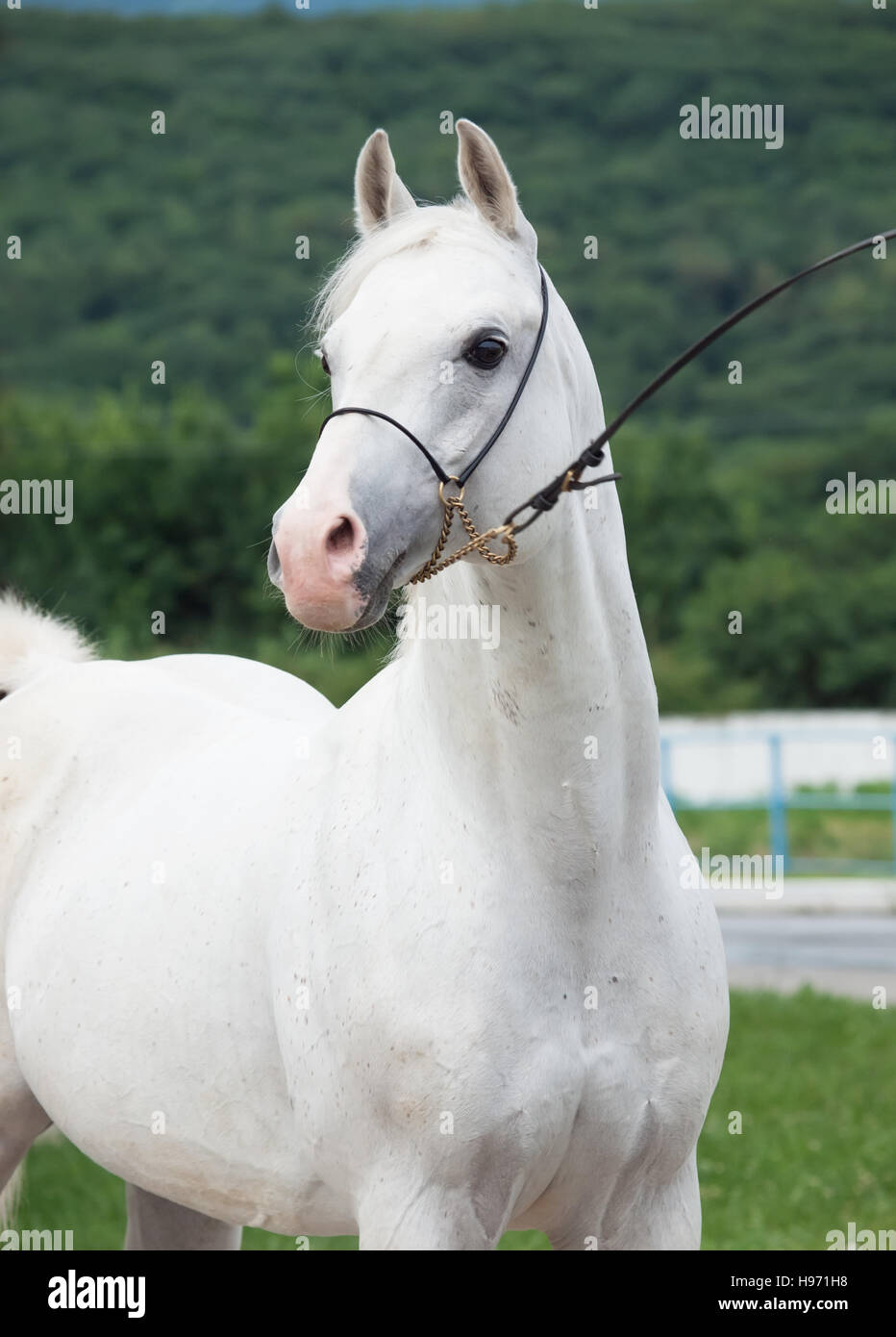 portrait of white arabian stallion - Stock Image