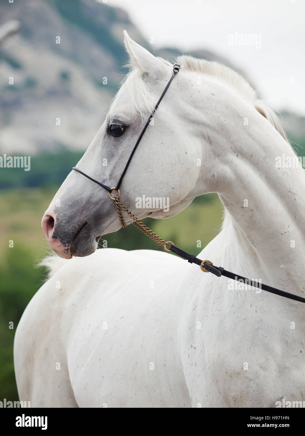 portrait of  white arabian stallion at mountain background - Stock Image