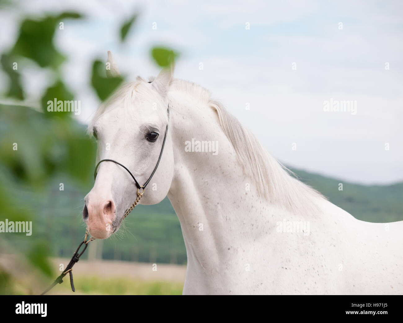 portrait of  white arabian stallion - Stock Image