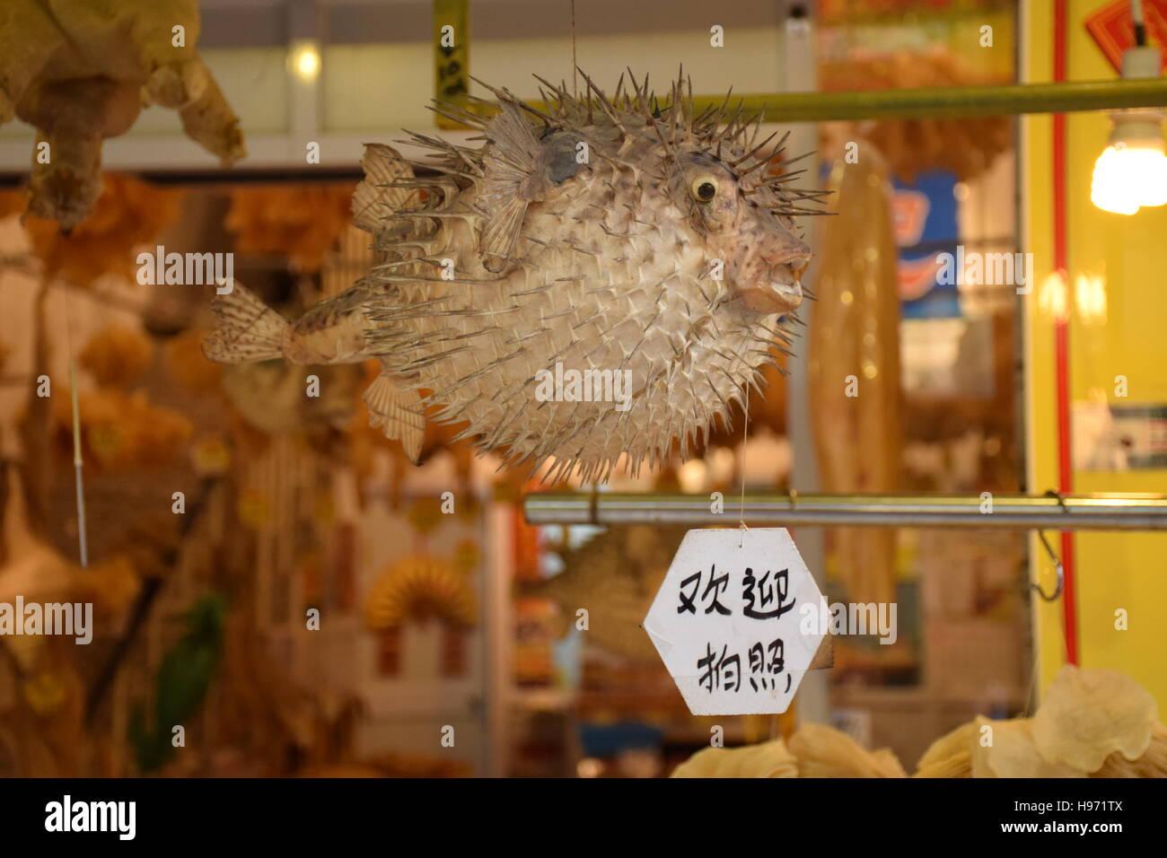 Souvenir of an embalmed puffer fish in a shop in Lantau island, Hong Kong - China - Stock Image