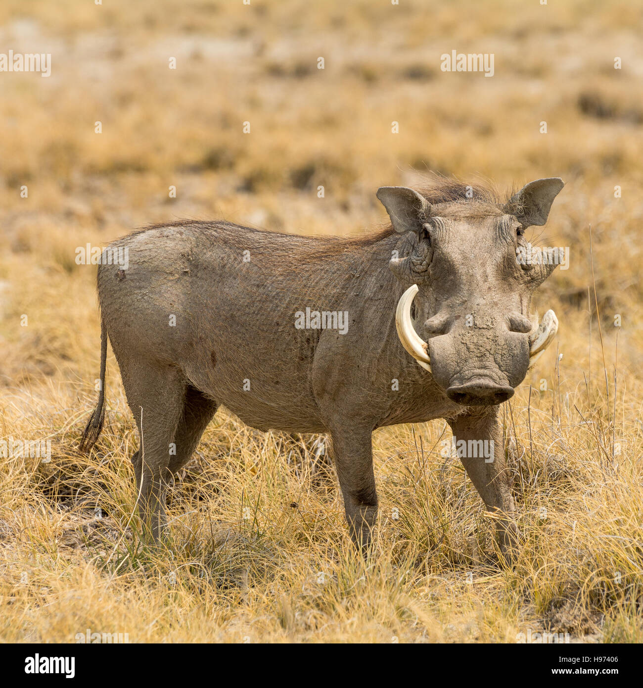 Portrait of a Warthog, seen in namibia, africa. - Stock Image