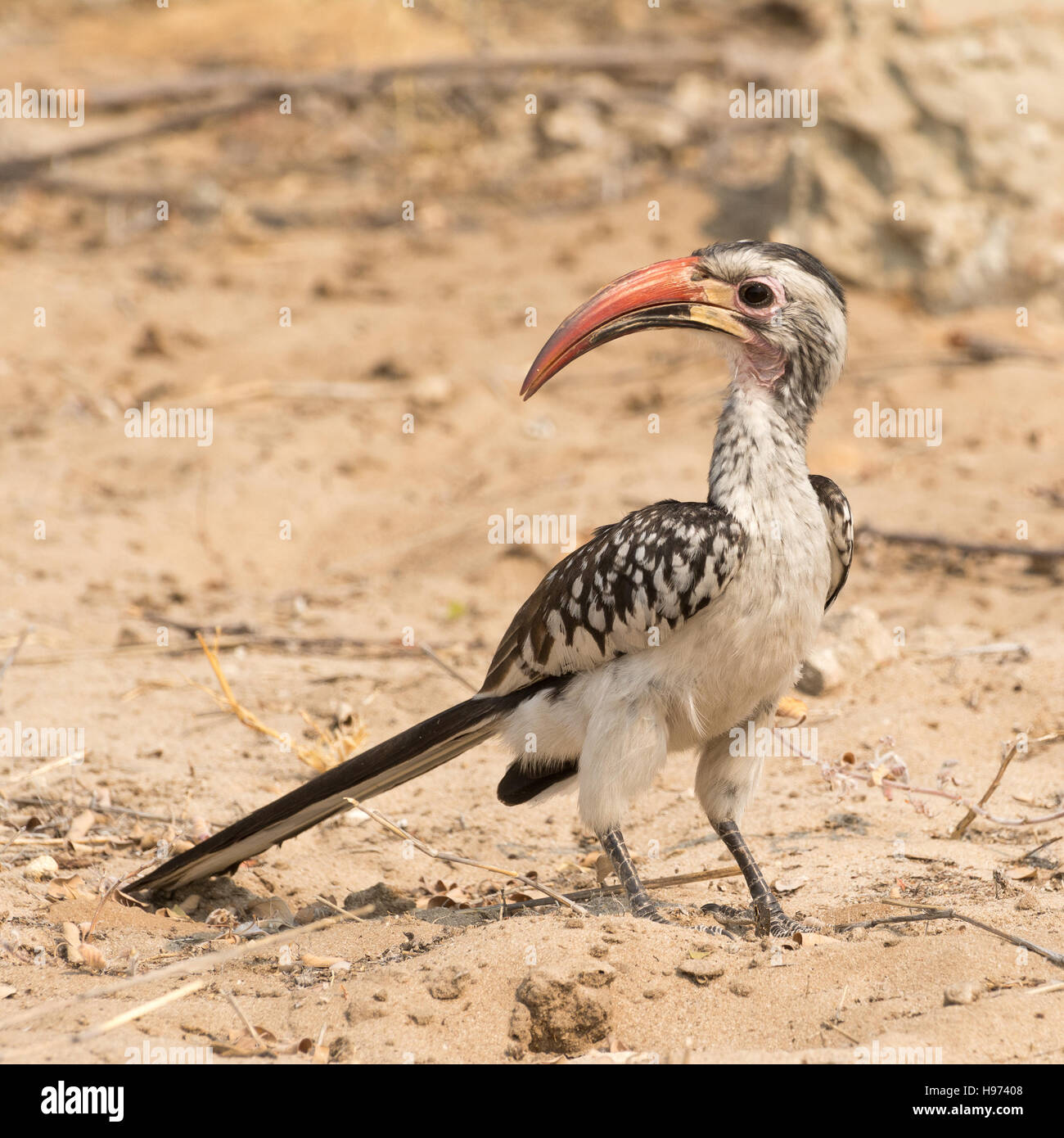 Portrait of a Red Billed Hornbill (Toko), seen in namibia, africa. - Stock Image