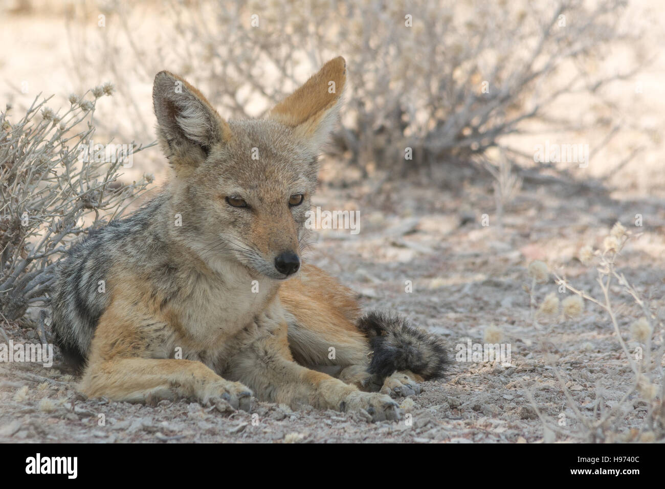 Black-Backed Jackal, seen in namibia, africa. - Stock Image
