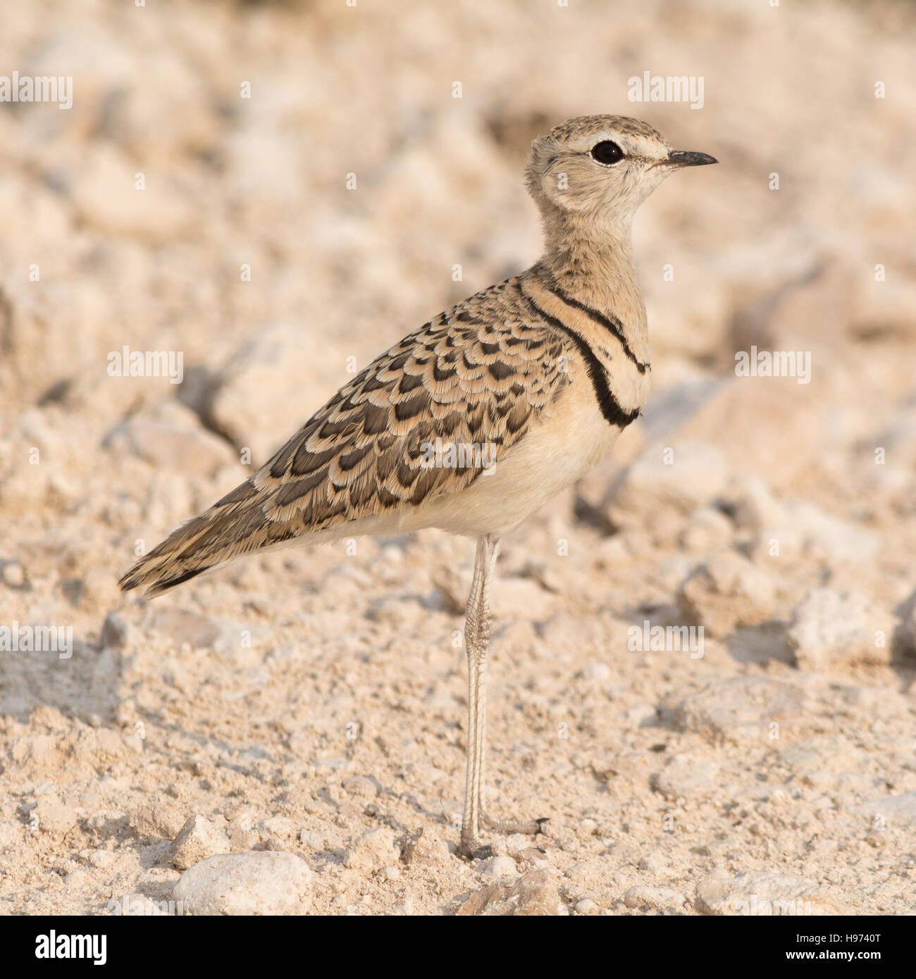 Double Banded Courser Bird standing on the ground, seen in namibia, africa. - Stock Image