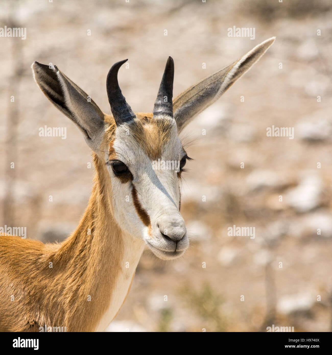 Portrait of a Springbok, seen in namibia, africa. - Stock Image
