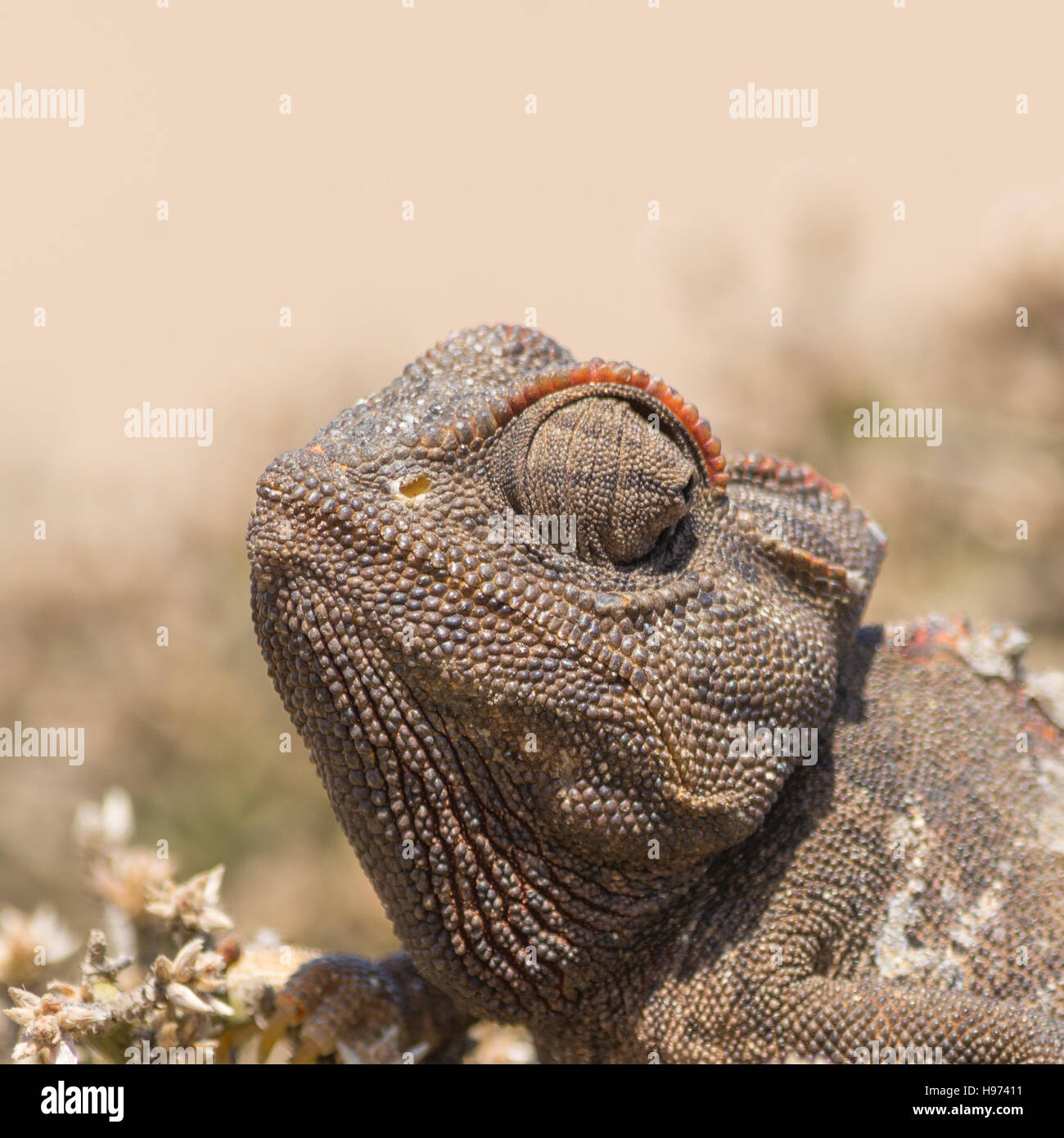 Portrait of a Chameleon, seen in namibia, africa. - Stock Image