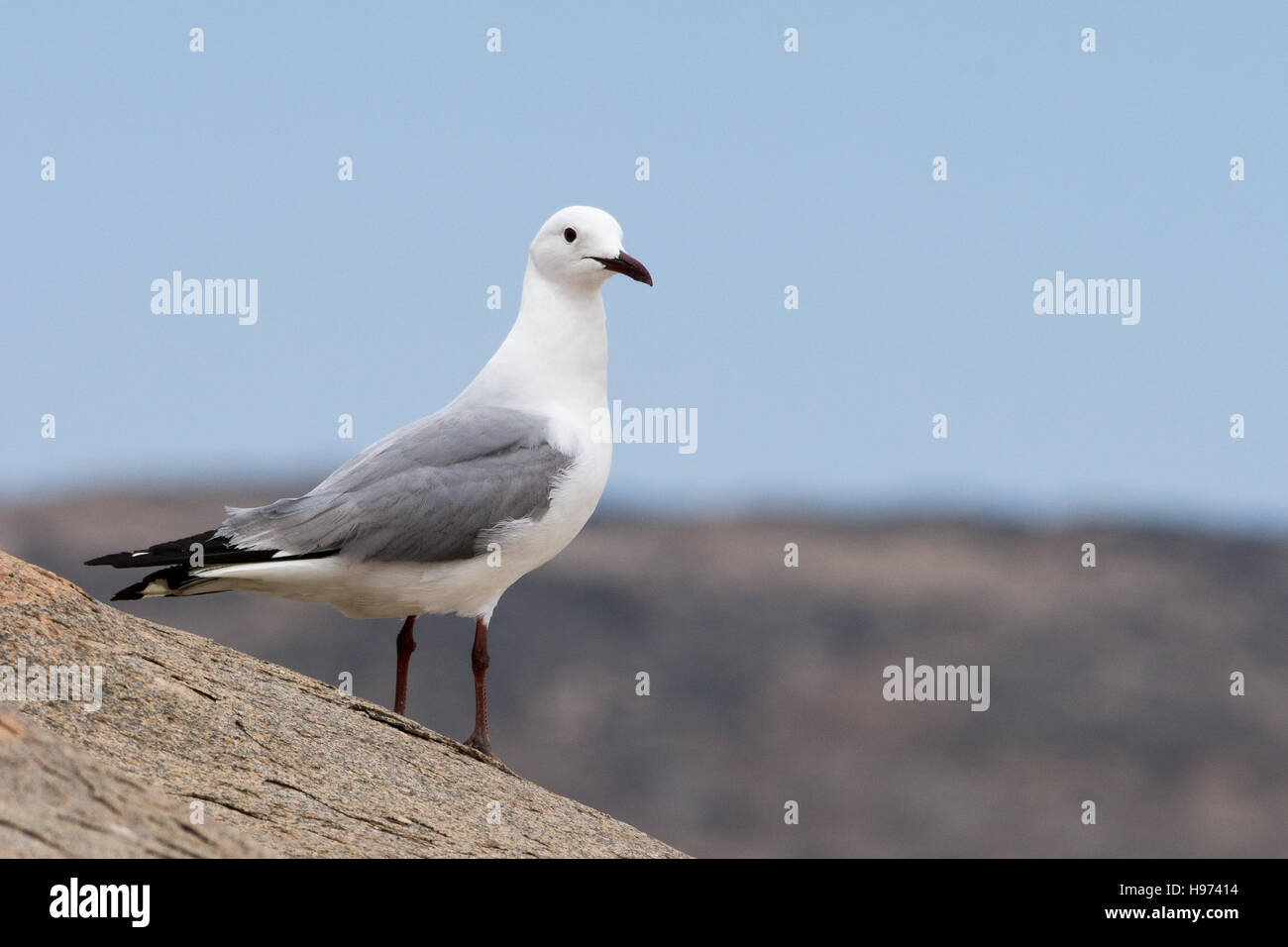 seagull at luederitz bay, seen in namibia, africa. - Stock Image