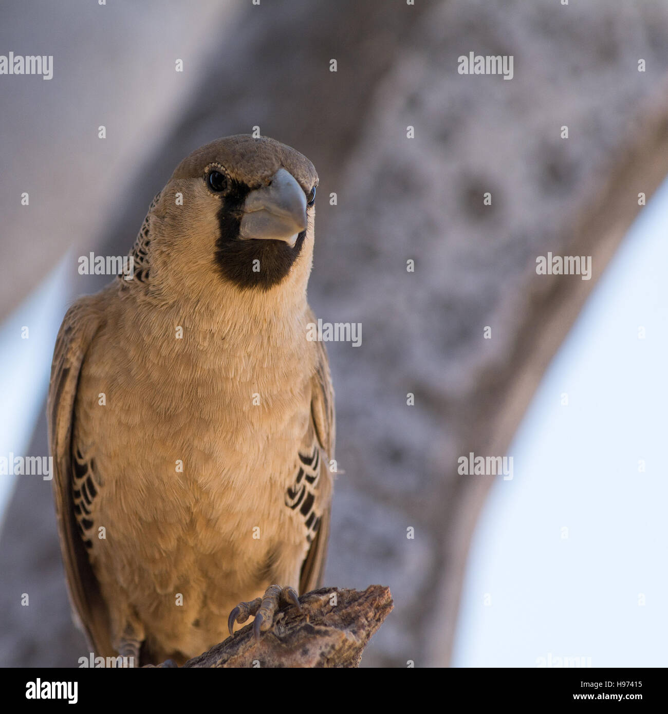 Female Weaver Bird, seen in namibia, africa. - Stock Image