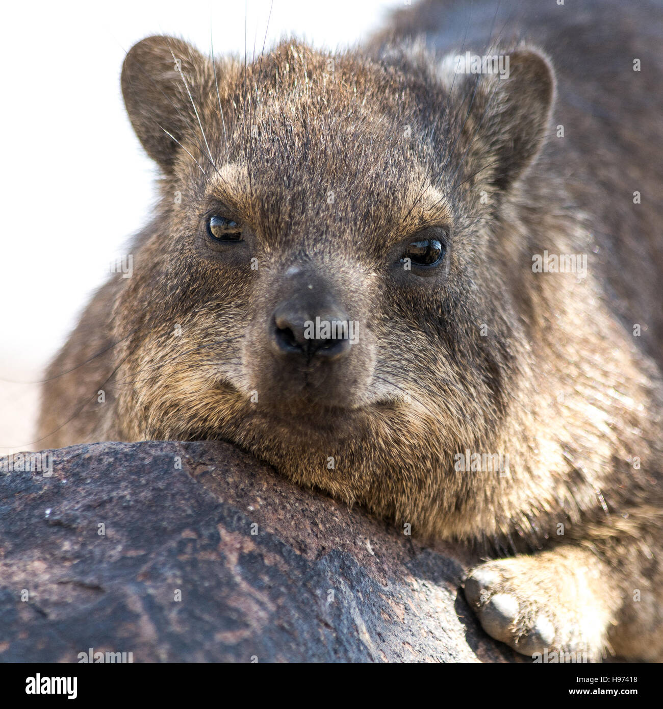 Portrait of a Cliff Hyrax, seen in namibia, africa. - Stock Image