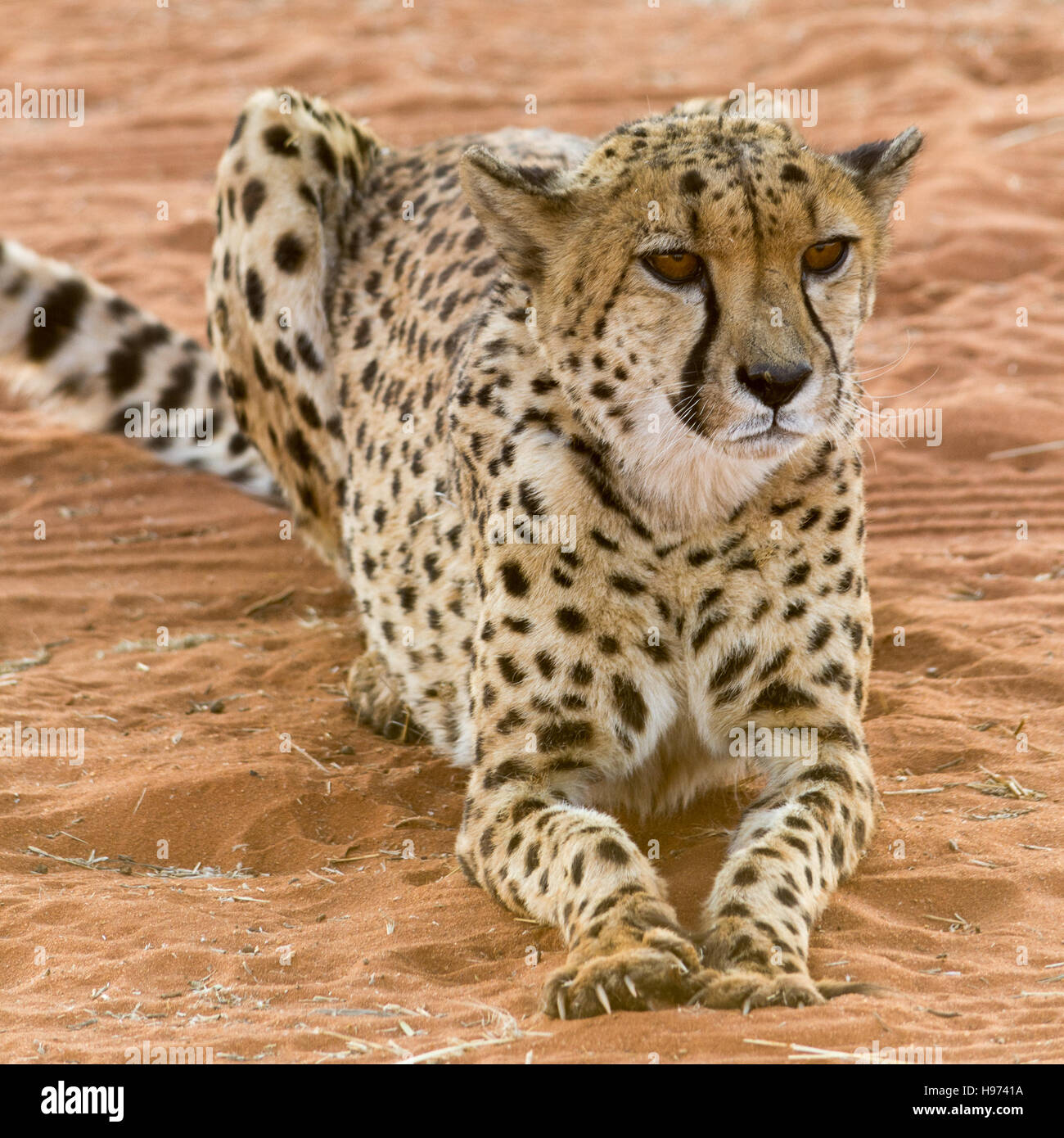 portrait of a cheetah, lying in red sand, seen in namibia, africa. - Stock Image