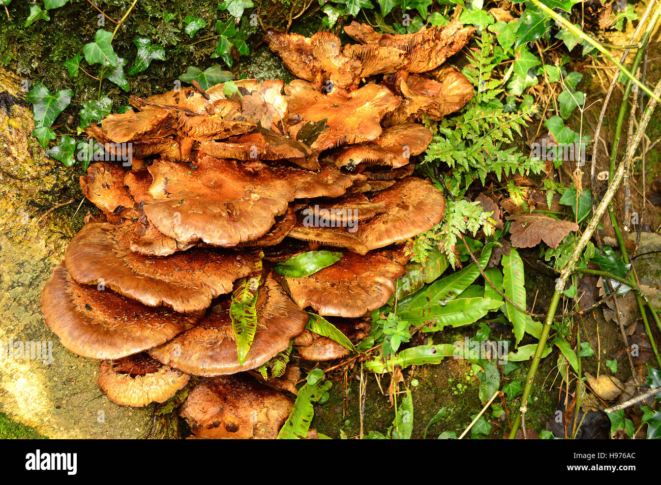 Group of Toadstools, Fungi, at base of tree - like Mushrooms, but could be poisonous! - Stock Image