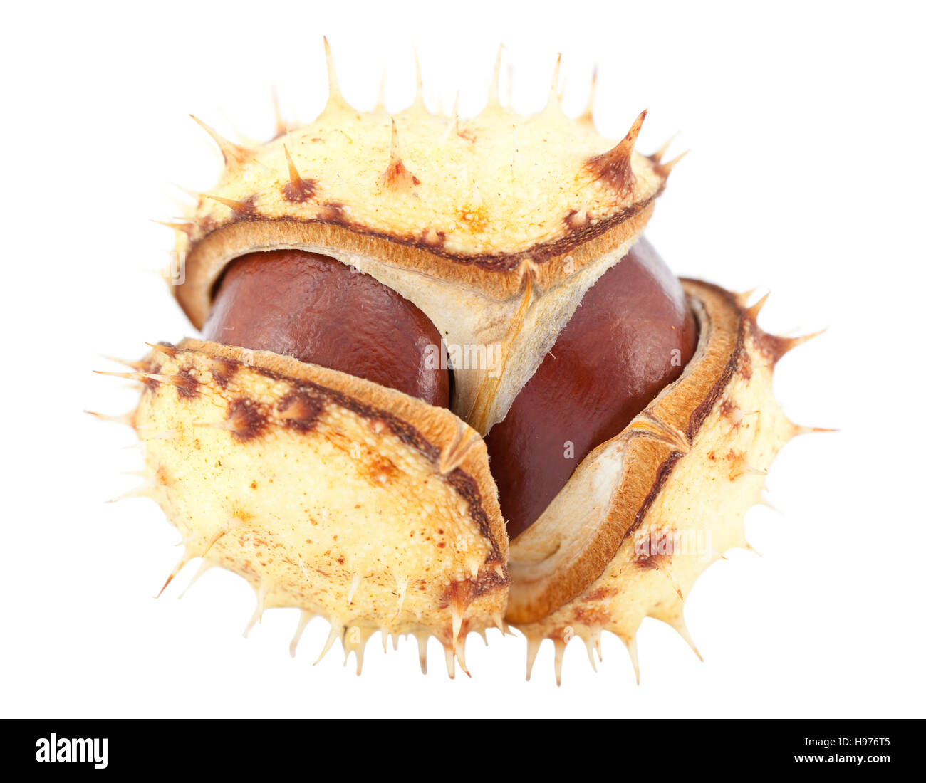 open chestnut in peel on white background - Stock Image