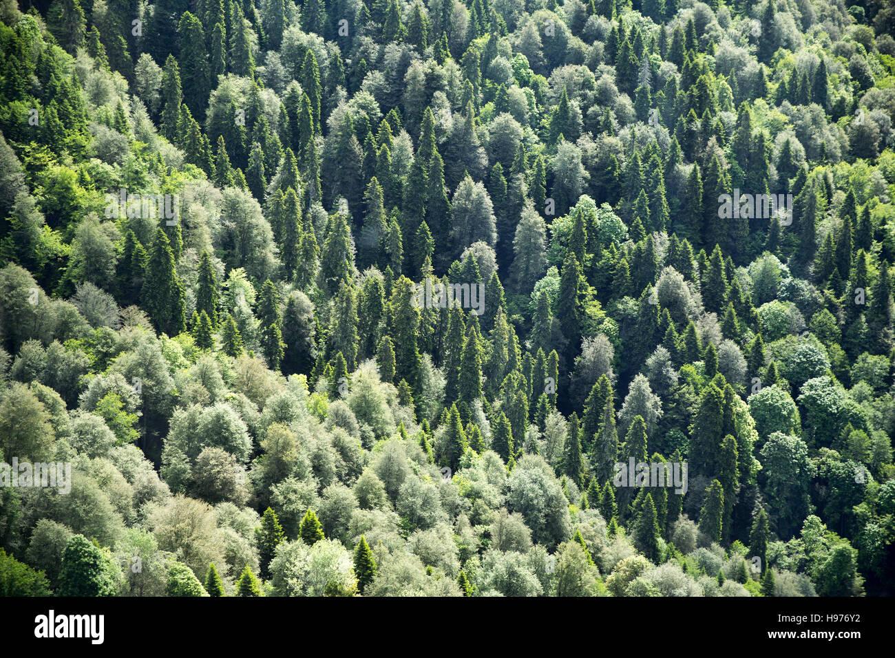 Forest. Krasnaya Polyana. Sochi. Russia - Stock Image