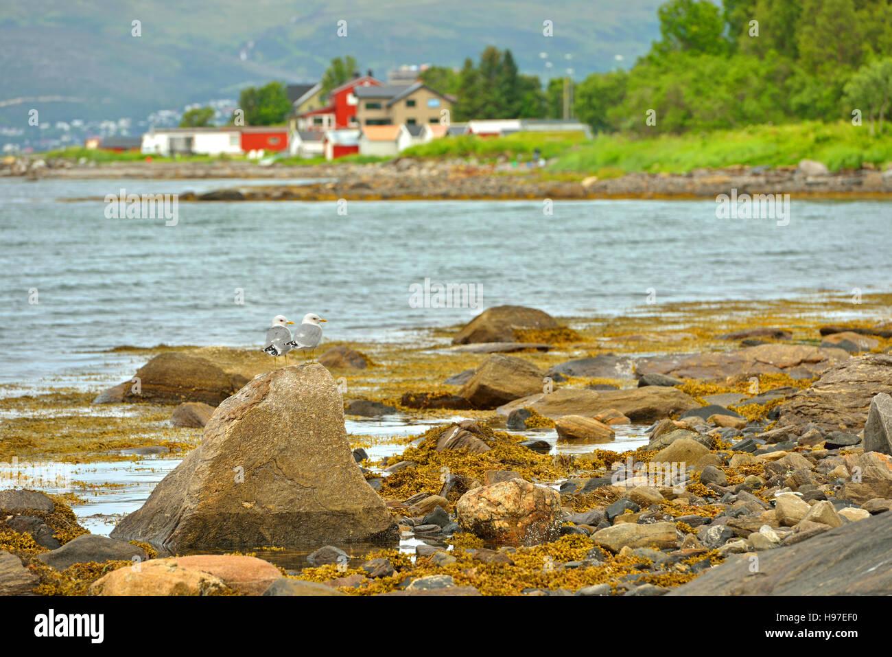 European herring gulls (Larus argentatus). Tromso, Norway - Stock Image