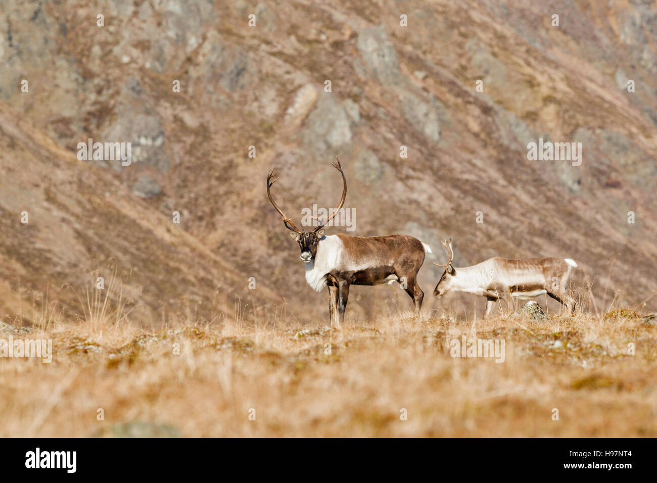 A bull and cow caribou in the Alaskan Range mountains during the autumn rut. Stock Photo