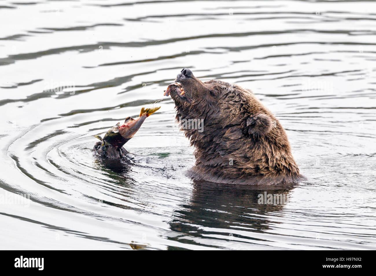 Female brown bear feasting on spawning salmon in Katmai National Park, Alaska - Stock Image
