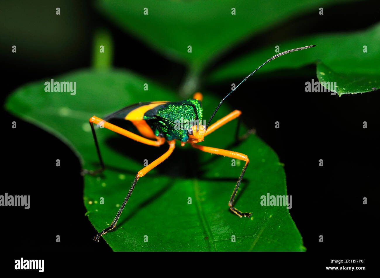 Beautiful beetle on leaf in the tropical rainforest of Panama, Rainforest, Gamboa, Panama - Stock Image