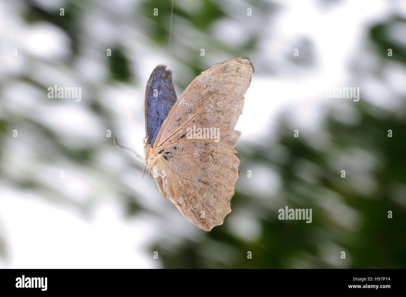 Peleides Blue Morpho, Common Morpho, The Empero, Rainforest, Gamboa, Panama - Stock Image