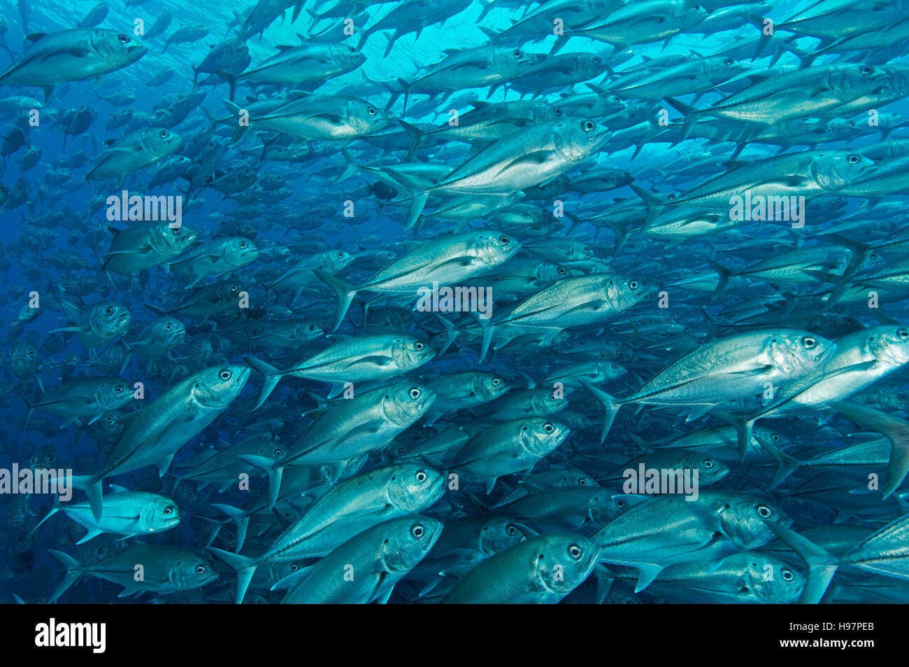 school of Bigeye trevallies, bigeye jacks, Malpelo Island, Colombia, East Pacific Ocean - Stock Image