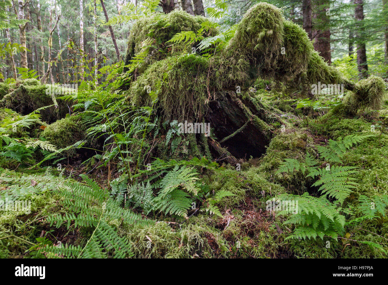 Moss covered tree stump, Tongass National Forest, Alaska - Stock Image