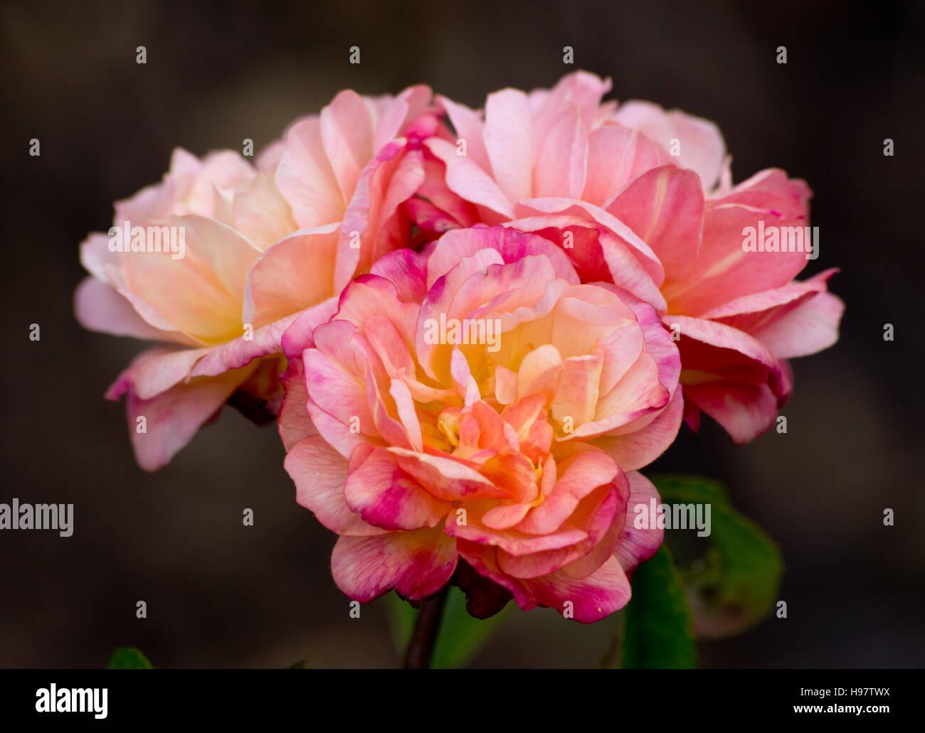 Rose Souvenir Leonie Viennot - Stock Image