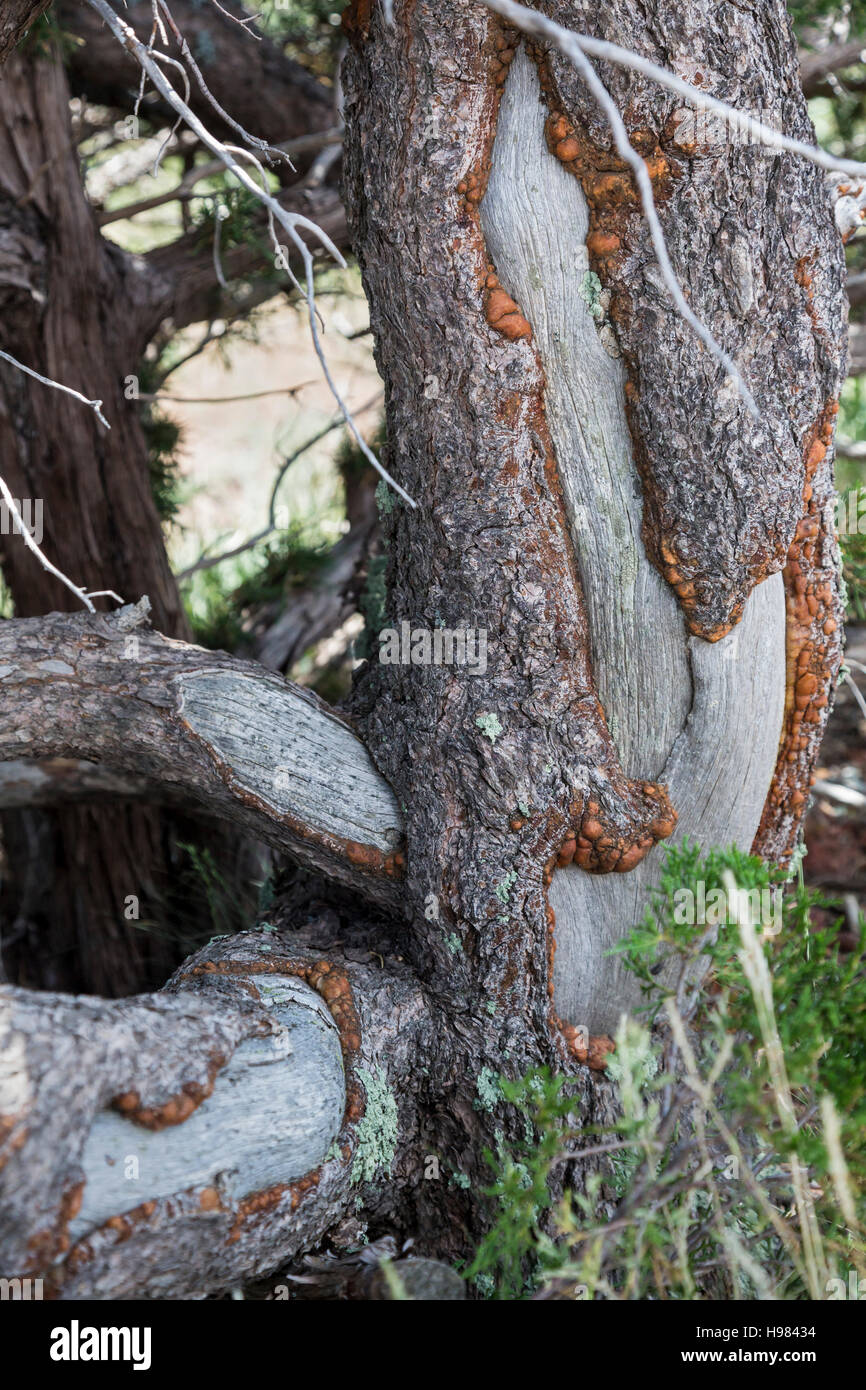 Capulin, New Mexico - Porcupine damage to a tree in Capulin Volcano National Monument. - Stock Image