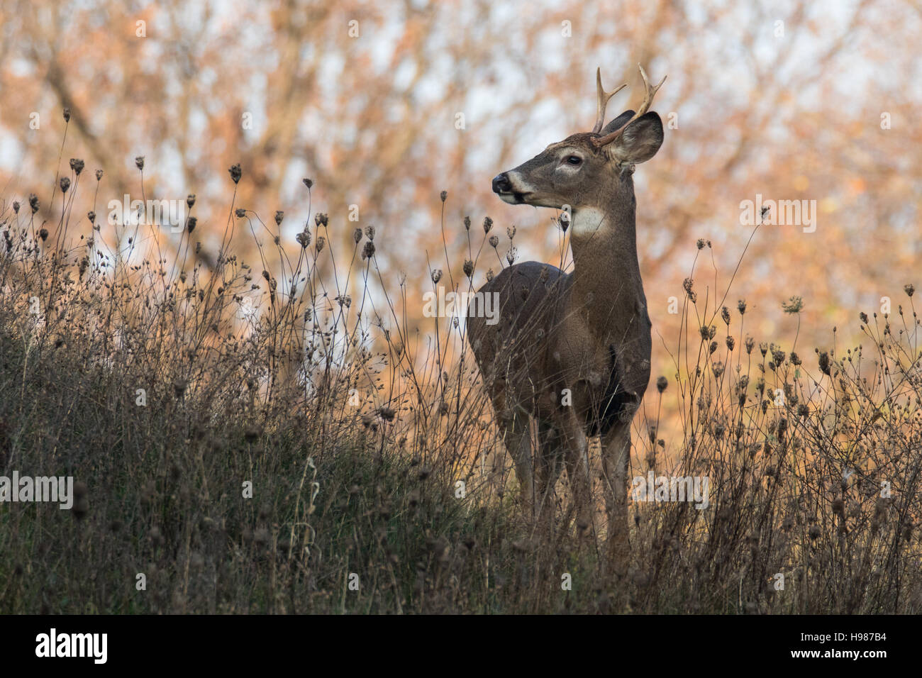 White-tailed deer buck Stock Photo