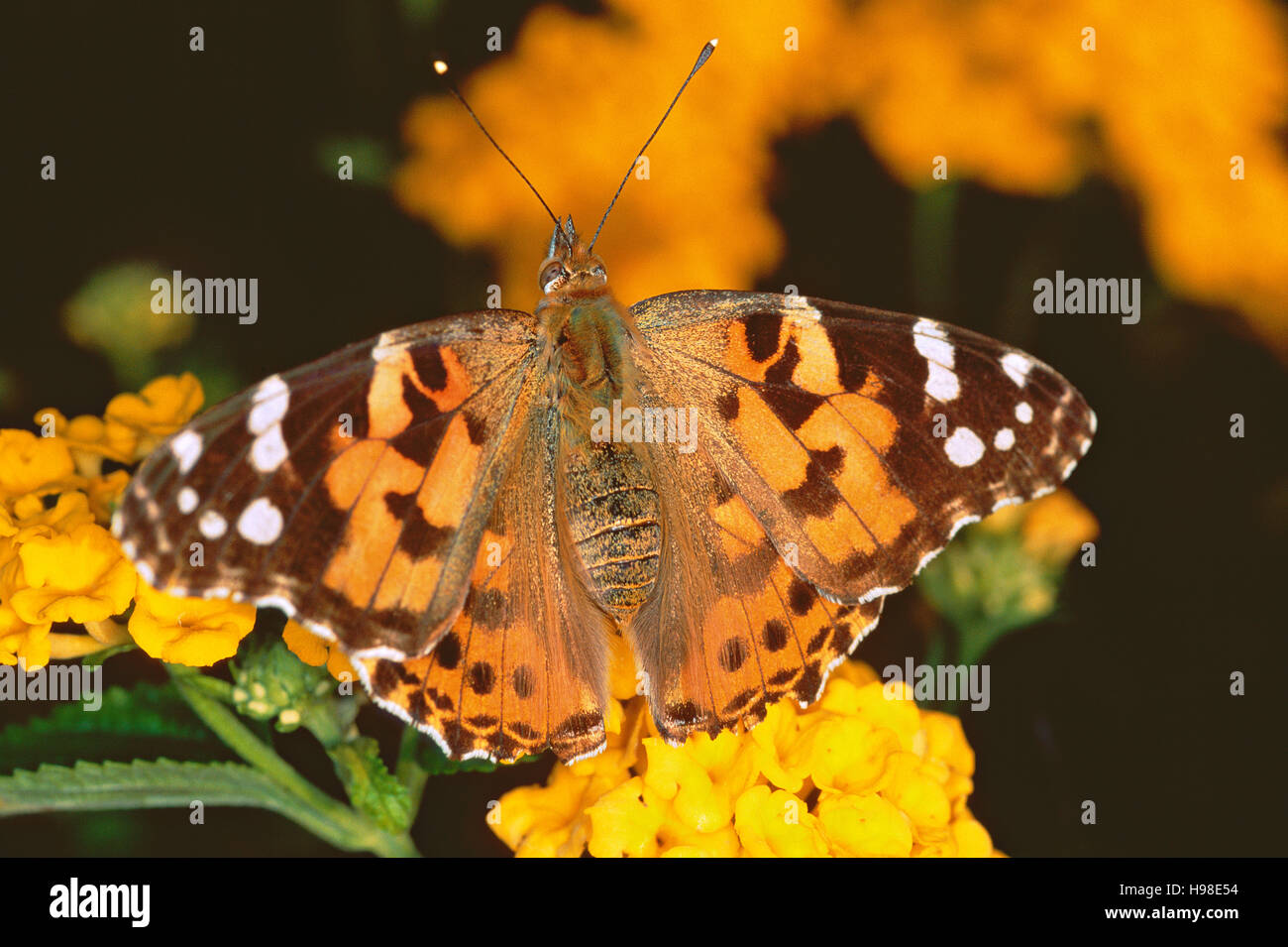 Painted lady butterfly (Cynthia cardui) on a lantana flower Stock Photo