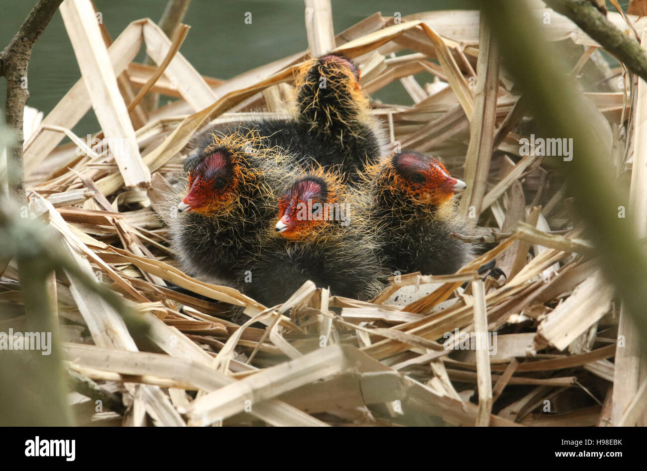 Baby Coots (Fulica atra) on their nest waiting for the parents to return with food. - Stock Image