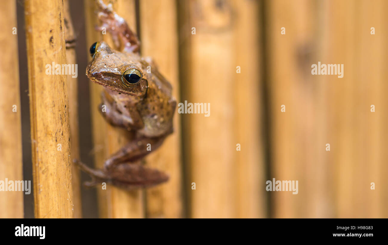 Close up of Beautiful Frog on Dry Bamboo Stick. Front Short Perspective. Koh Tao, Thailand Stock Photo
