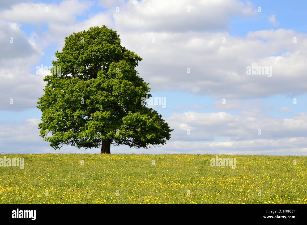Single tree in a buttercup field under a cloudy blue sky Stock Photo
