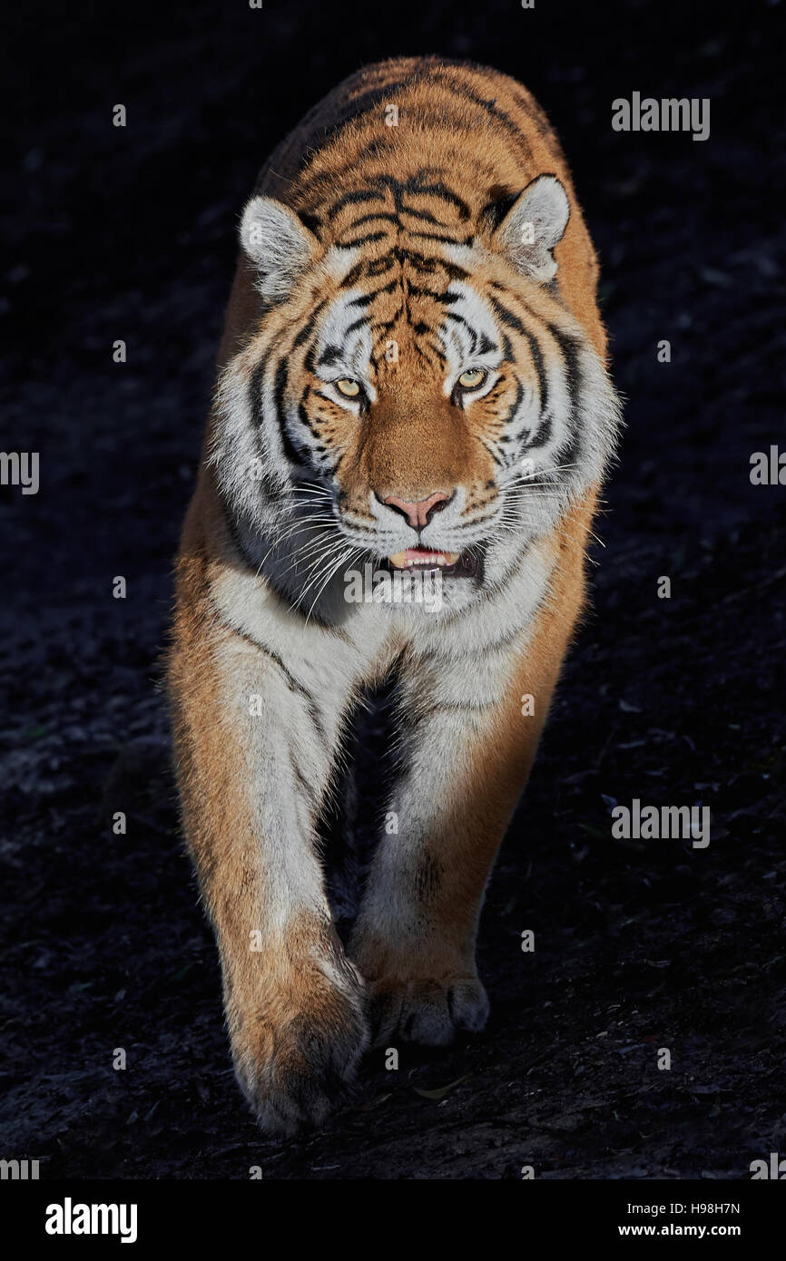 Siberian tiger walking in the sun with a dark background - Stock Image