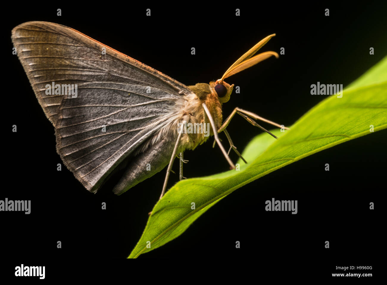 A unidentified moth from the Peruvian jungle. Stock Photo