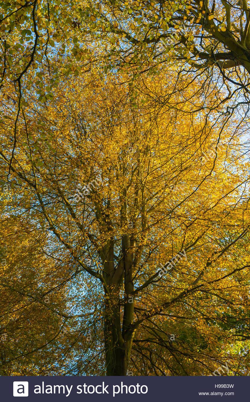 Fagus sylvatica beech trees - Stock Image