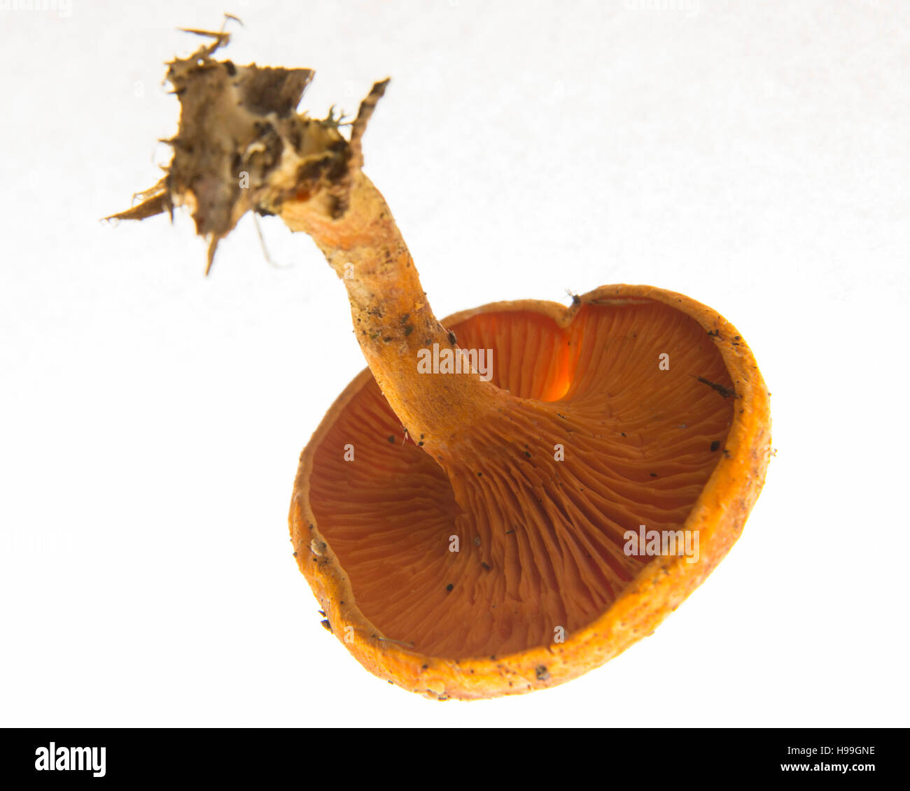 Deceiver mushroom, Laccaria laccata, on a white background bhz - Stock Image