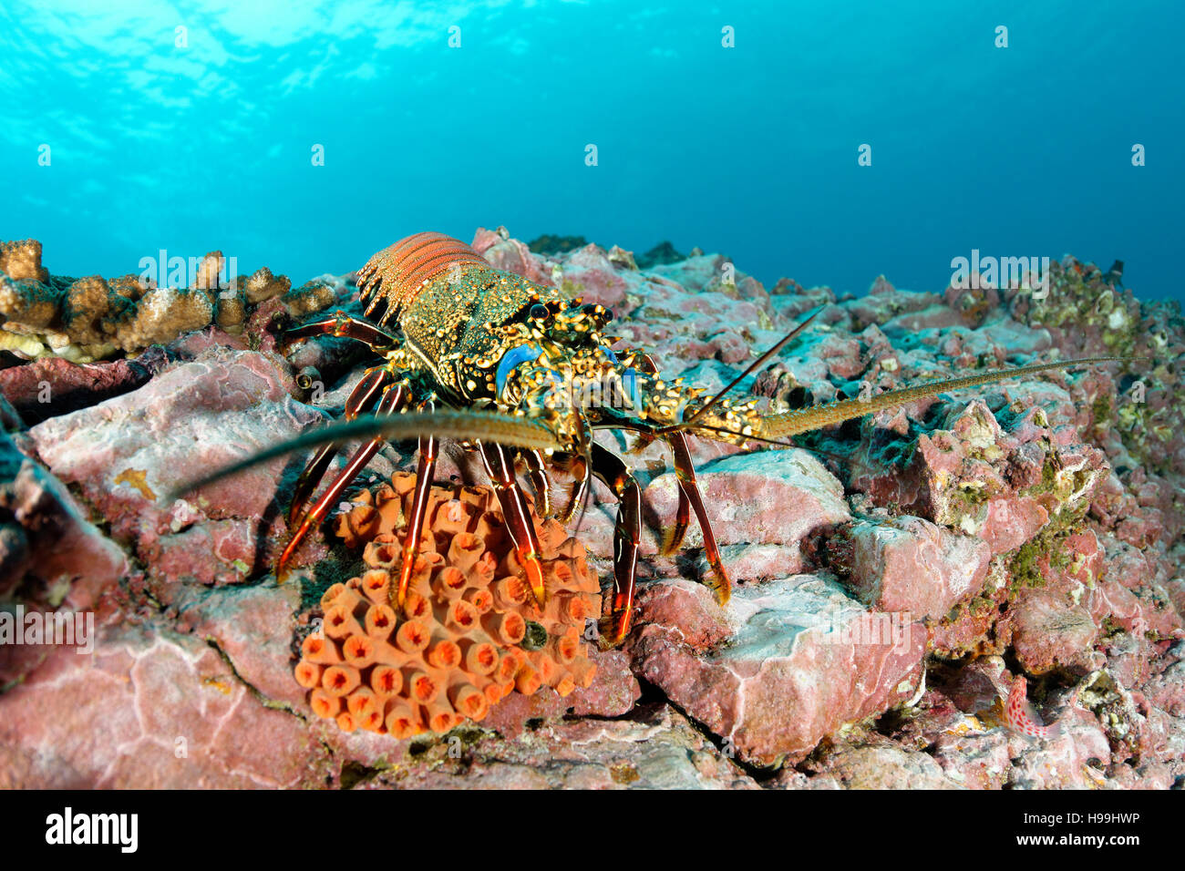 brown spiny lobster, Malpelo Island, Colombia, East Pacific Ocean - Stock Image