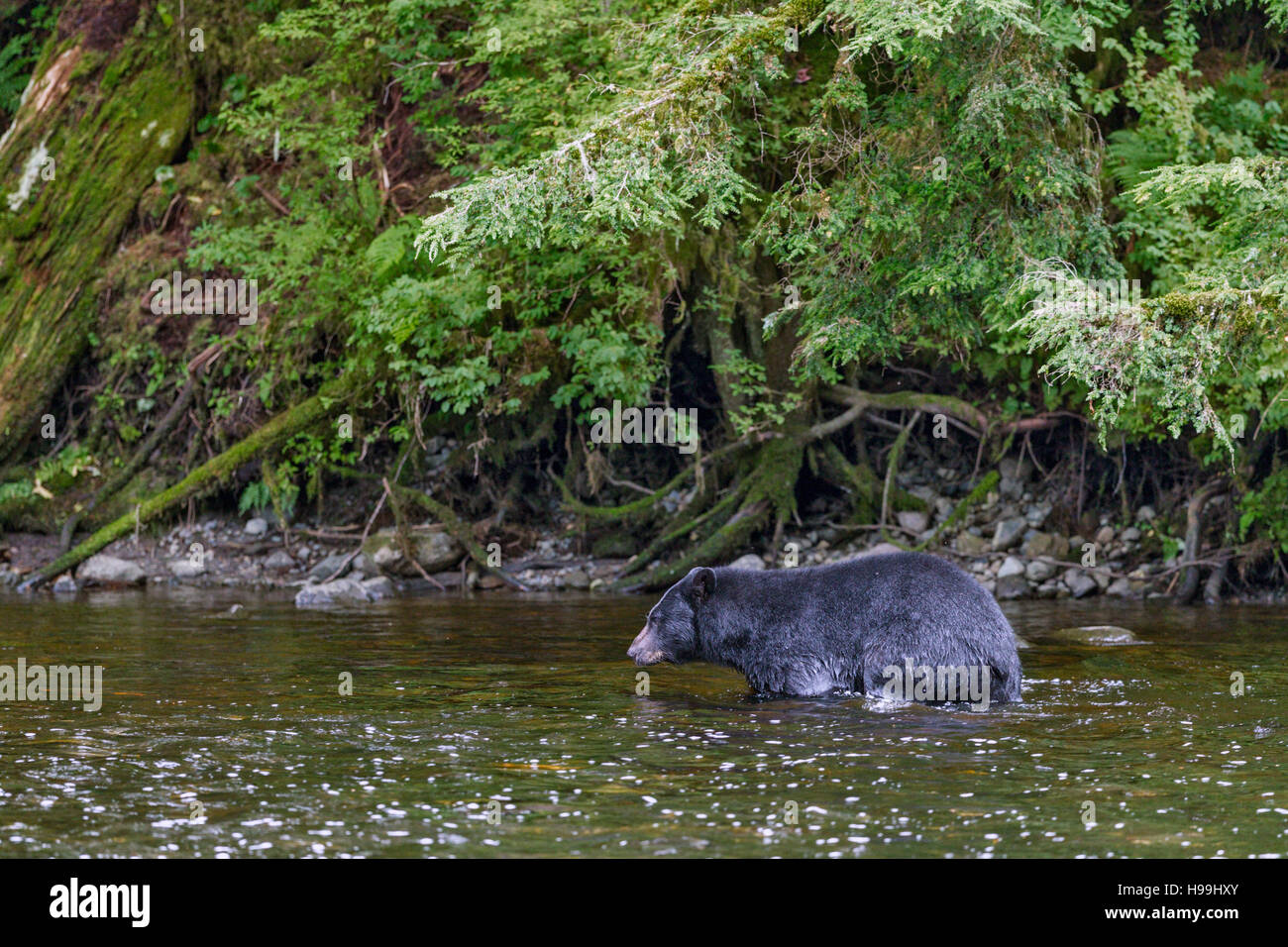 A Black Bear wades in a river to fish for spawning salmon, Tongass National Forest, Southeast Alaska Stock Photo