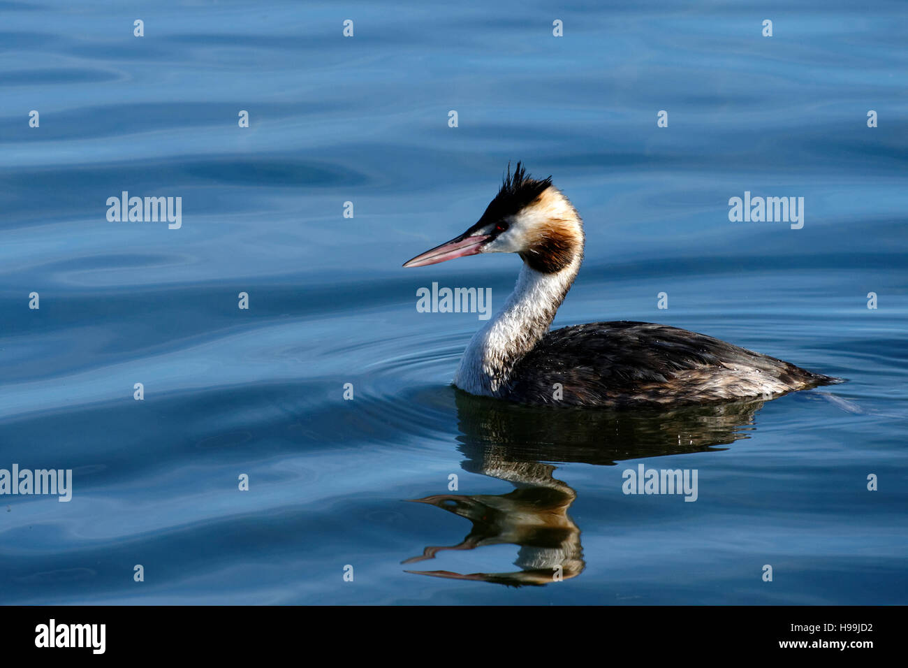 Great Crested Grebes (Podiceps cristatus) in water - Stock Image