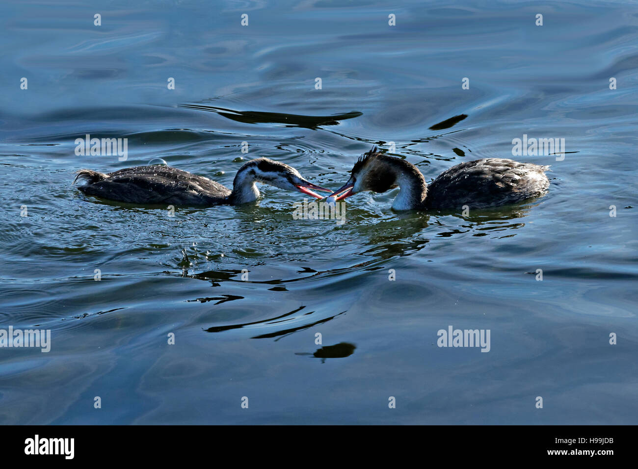 2 Great Crested Grebes  (Podiceps cristatus) birds feeding in water - Stock Image