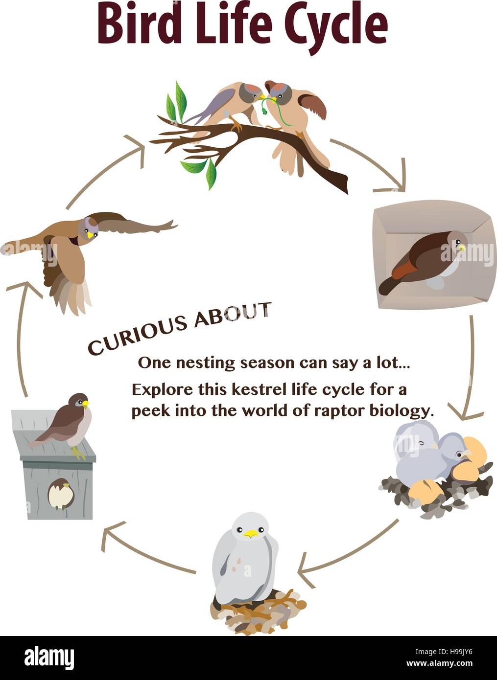 vector illustration of bird life cycle stock vector art
