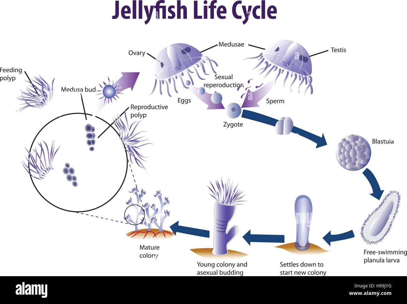 Queen Jellyfish Life Cycle Diagram - Circuit Connection Diagram •