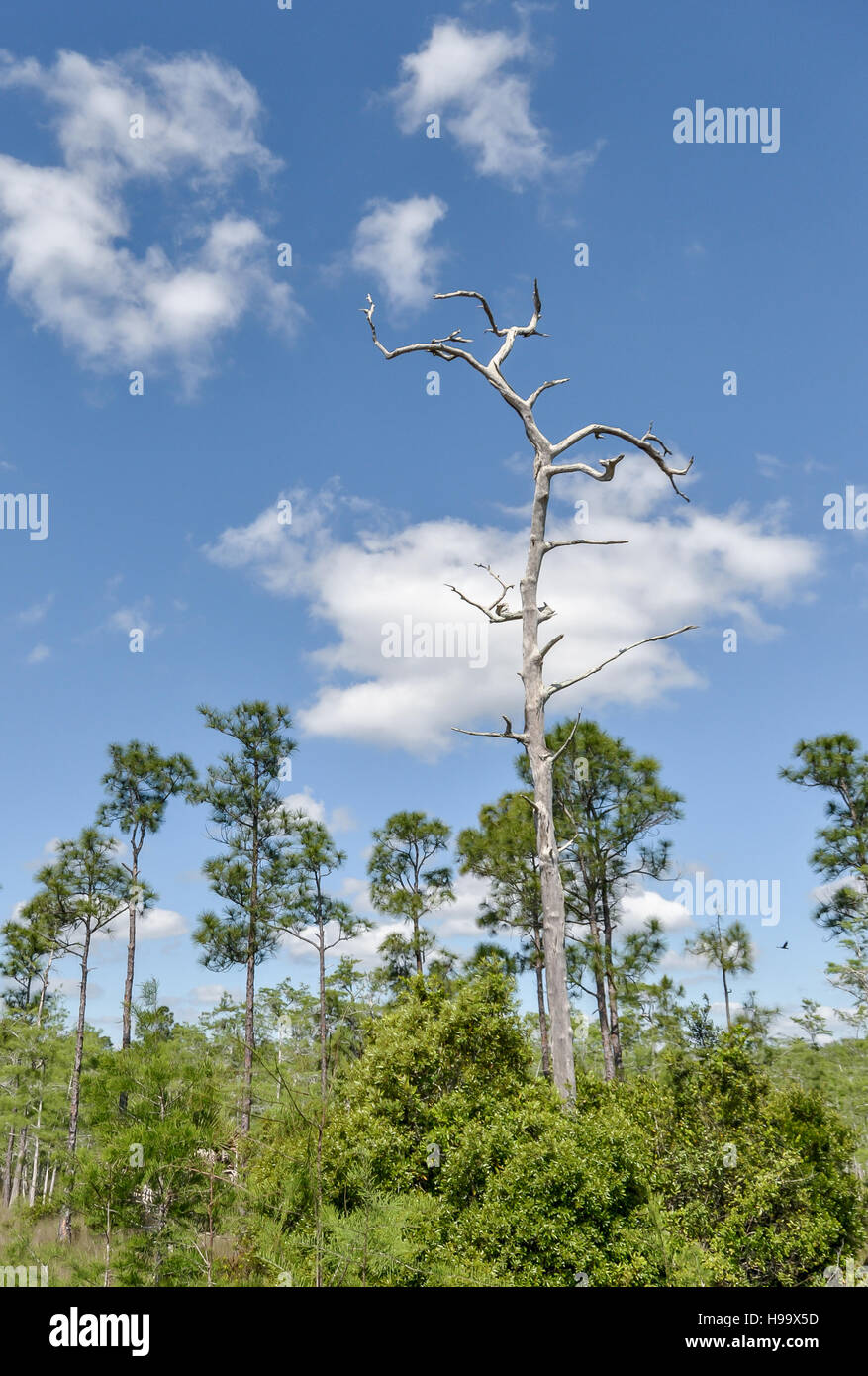 A pine hammock in Big Cypress National Preserve, Florida, with a dead 'lighter pine' or fatwood snag rising - Stock Image