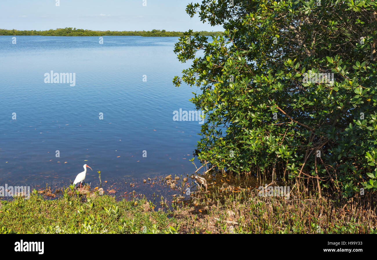 Florida, Sanibel Island, J.N. 'Ding' Darling National Wildlife Refuge, Wildlife Drive, American white ibis - Stock Image