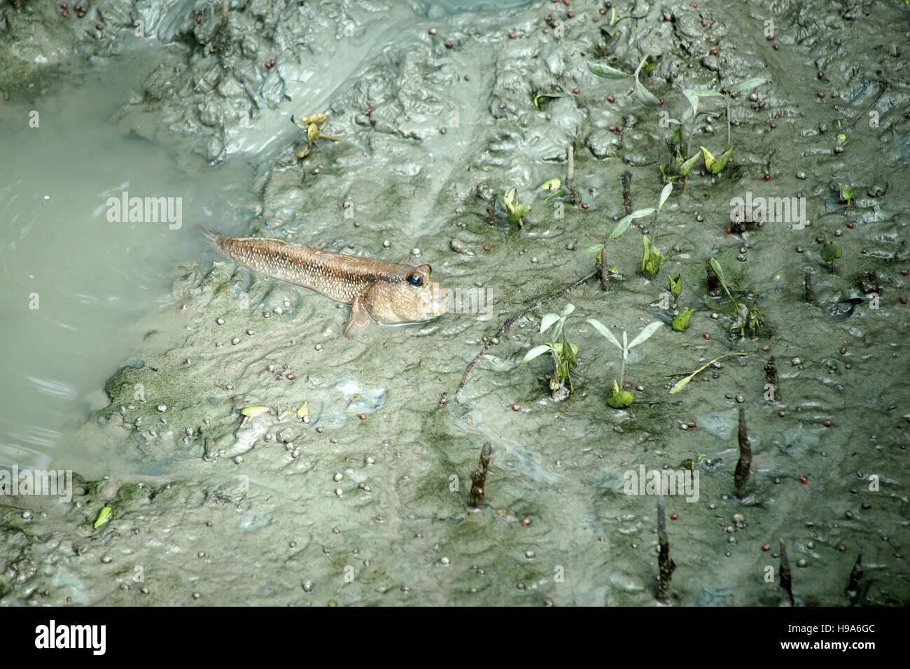 mudskipper or amphibious fish in mangrove forest - Stock Image