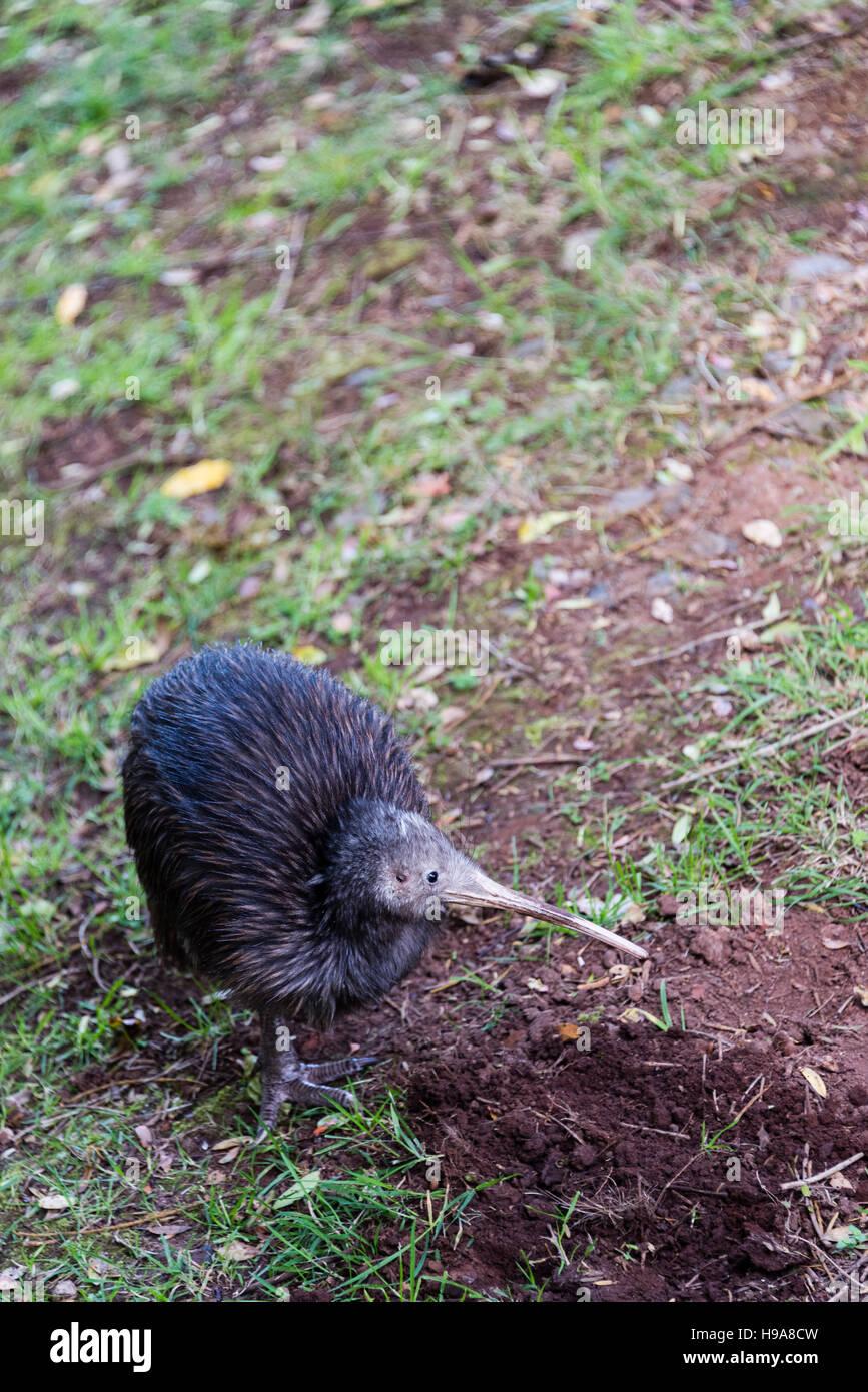 New Zealand Kiwi Bird - Stock Image